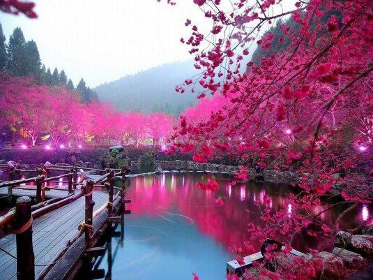 Cerejeira-em-Flor